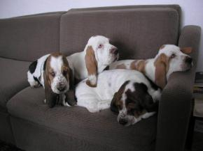 Naši basseti - Our bassets [Bassethound  CHS Grand Grades]